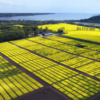 Oilseed rape breeding